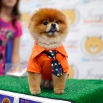 pomeranian dog meet the breeds