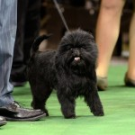 Banana Joe Affenpinscher Best in Show